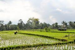 Agricoltori che lavorano alle risaie in Bali Fotografia Stock