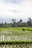 Agricoltori che lavorano alle risaie in Bali Fotografia Stock Libera da Diritti