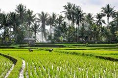 Agricoltori che lavorano alle risaie in Bali Fotografie Stock Libere da Diritti