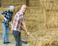 Agricoltori che lavorano con il fieno in granaio Immagini Stock