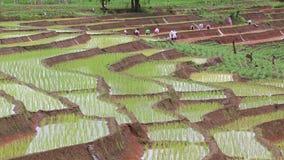 Agricoltori che lavorano il riso della pianta nell'azienda agricola della terra del terrazzo e nella pioggia della Tailandia Fotografia Stock