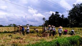 Agricoltori che lavorano insieme nelle risaie, Ubud, Bali Fotografie Stock