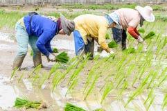 Agricoltori che lavorano le piantine di trapianto del riso Immagine Stock