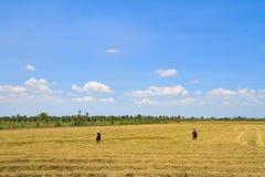 Agricoltori che lavorano nel giacimento del riso Fotografia Stock