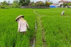 Agricoltori che lavorano nel giacimento del riso agricoltura Immagini Stock Libere da Diritti