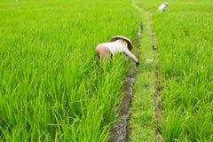 Agricoltori che lavorano nel giacimento verde del riso agricoltura Fotografia Stock Libera da Diritti
