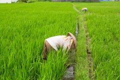 Agricoltori che lavorano nelle risaie agricoltura Fotografie Stock Libere da Diritti