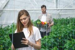 Agricoltori che lavorano nelle verdure crescenti di una serra Immagini Stock Libere da Diritti