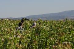 Agricoltori che lavorano in una pianta di tabacco, l'Anatolia, Turchia Immagine Stock