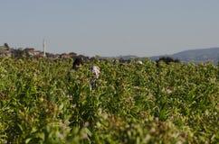 Agricoltori che lavorano in una pianta di tabacco, l'Anatolia, Turchia Immagine Stock Libera da Diritti