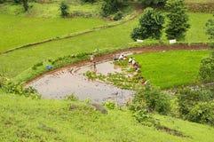 Agricoltori che piantano gli alberelli del riso nel ghat Pune di Varandha Fotografia Stock Libera da Diritti