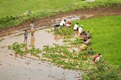 Agricoltori che piantano gli alberelli del riso nel ghat Pune di Varandha Immagini Stock Libere da Diritti