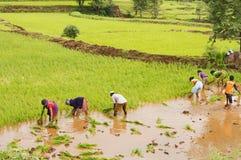 Agricoltori che piantano gli alberelli del riso vicino a Bhor, Pune Immagini Stock Libere da Diritti