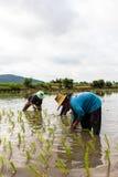 Agricoltori che piantano i raccolti del riso Fotografie Stock Libere da Diritti