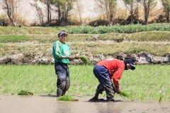 Agricoltori che piantano il riso nel Perù Fotografie Stock