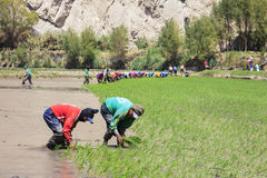 Agricoltori che piantano il riso nel Perù Immagini Stock