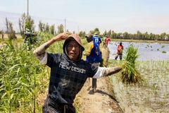 Agricoltori che piantano il riso nel Perù Immagini Stock Libere da Diritti