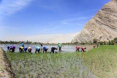 Agricoltori che piantano il riso nel Perù Fotografia Stock Libera da Diritti
