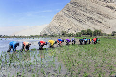 Agricoltori che piantano il riso nel Perù Fotografie Stock Libere da Diritti