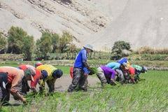 Agricoltori che piantano il riso nel Perù Fotografia Stock
