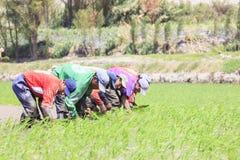 Agricoltori che piantano il riso nel Perù Immagine Stock