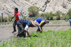Agricoltori che piantano il riso nel Perù Immagine Stock Libera da Diritti