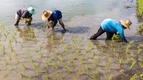 Agricoltori che piantano le piantine del riso Fotografie Stock Libere da Diritti