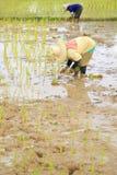 Agricoltori che piantano riso Fotografia Stock Libera da Diritti