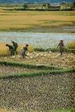 Agricoltori che piantano riso Fotografie Stock Libere da Diritti