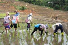 Agricoltori che piantano riso nel giacimento del riso del terrazzo Fotografie Stock Libere da Diritti