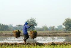 Agricoltori che portano le piantine di riso Fotografia Stock
