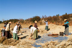 Agricoltori che raccolgono grano sulla campagna di Pindaya Fotografie Stock Libere da Diritti