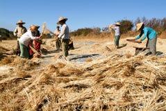 Agricoltori che raccolgono grano sulla campagna di Pindaya Fotografia Stock Libera da Diritti