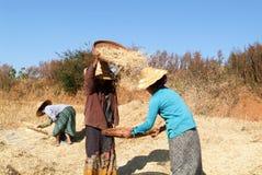 Agricoltori che raccolgono grano sulla campagna di Pindaya Fotografie Stock