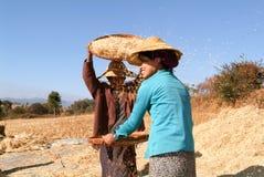 Agricoltori che raccolgono grano sulla campagna di Pindaya Immagini Stock