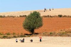 Agricoltori che raccolgono grano sulla campagna di Pindaya su Myanma Fotografie Stock