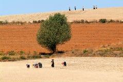 Agricoltori che raccolgono grano sulla campagna di Pindaya su Myanma Fotografie Stock Libere da Diritti