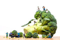 Agricoltori che raccolgono la corona dei broccoli e che caricano camion Immagine Stock Libera da Diritti