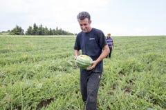 Agricoltori che raccolgono le angurie dal campo Fotografia Stock