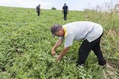 Agricoltori che raccolgono le angurie dal campo Immagini Stock Libere da Diritti