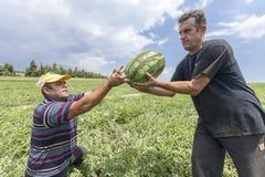 Agricoltori che raccolgono le angurie dal campo Fotografie Stock Libere da Diritti