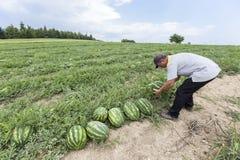 Agricoltori che raccolgono le angurie dal campo Immagine Stock