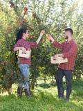Agricoltori che raccolgono le mele in frutteto Immagine Stock