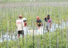 Agricoltori che raccolgono le paprica dei peperoncini rossi Fotografia Stock