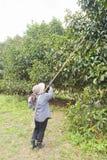 Agricoltori che raccolgono mangostano nel giardino. Immagine Stock Libera da Diritti
