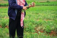 Agricoltori che raccolgono organicamente gli scalogni verdi Fotografia Stock