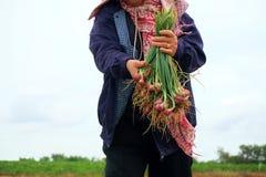 Agricoltori che raccolgono organicamente gli scalogni verdi Immagine Stock Libera da Diritti