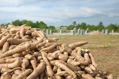 Agricoltori che raccolgono patata dolce Fotografie Stock Libere da Diritti