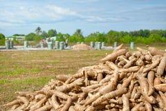 Agricoltori che raccolgono potatoÑŽ dolce Immagini Stock Libere da Diritti