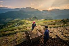 Agricoltori che raccolgono riso al terrazzo famoso nel Vietnam Immagine Stock Libera da Diritti